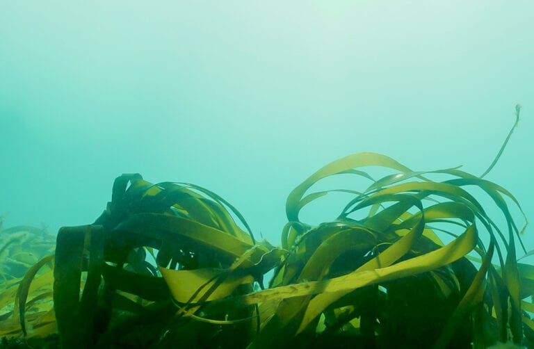Supporting the restoration of kelp off our local coast was one of 18 Adur & Worthing Climate Assembly recommendation (Image Copyright - Big Wave Productions)
